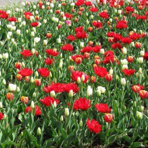 ega Erfurt, Großes Blumenbeet, Frühjahr 2012